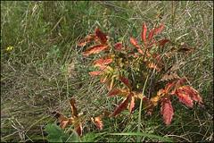 _DSC9838 (dmitry_ryzhkov) Tags: life red plants colour macro tree green nature grass leaves closeup photo village photos sony documentary ukraine dmitry ryzhkov poltavaregion slta77 dmitryryzhkov lazirki dmitryryzhkovcom