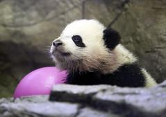 SAS_6757 (SSipple) Tags: animals nationalzoo pandas pandacub baobao