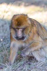 Barbary macaque 6 (Ryoushi no syokubutsuen) Tags: art sahara nature landscape desert arabic berber marocco marrakech magrib almagrib medrassa