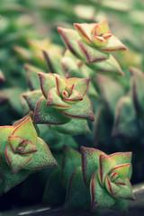 Copious Crassula (Sarah B in SD) Tags: flower green garden succulent spring sandiego grow socal bloom sanmarcos succulents crassula blooming droughttolerant perforata