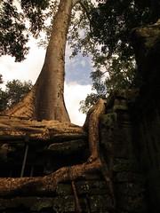 Cambodia-Angkor Wat temple+tree-14