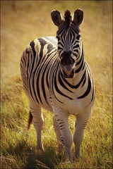 zebra (*Kicki*) Tags: africa nature animal southafrica safari explore zebra afrika shongololoexpress flickrexplore sydafrika explored hluhluweimfolozipark