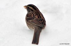 DSC_0292 (rachidH) Tags: snow nature birds nj sparrow neige sparta oiseaux moineau whitethroatedsparrow zonotrichiaalbicollis bruant bruantgorgeblanche rachidh