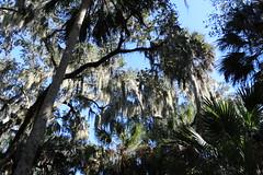 Florida forest (KamVad) Tags: park forest river oak state florida palm sarasota myakka