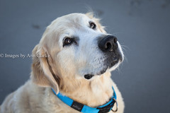 I love you:) (Images by Ann Clarke) Tags: blue portrait dog goldenretriever fur canine whiskers collar