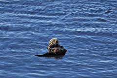 Morro Bay Sea Otters (6) (Bob Palin) Tags: california blue sea 15fav usa water animal otter morrobay seaotter instantfave canonef70300mmf456isusm canoneos60d orig:file=2013122615002
