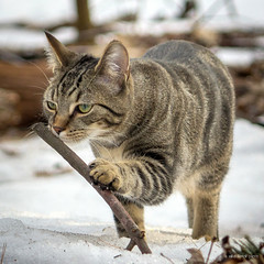 Cisco in Woods10 (mikell.herrick) Tags: pet nature animal cat outdoors woods kitten explore cisco discover
