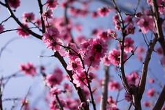 Blossom (Yakinik) Tags: japan t tokyo sony 55mm   sakura  fe alpha f18 za sonnar   nex   a7r yakinik 7r sel55f18z