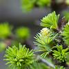 ... Lariks ... (Schapekop) Tags: nederland dordrecht bonsai zuidholland lariks