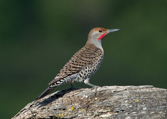 Northern Flicker (Tomingramphotography.com) Tags: northern flicker
