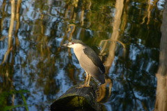 Black-crowned Night Heron (Lorcan Keating) Tags: blackcrownednightheron nycitoraxnycitorax