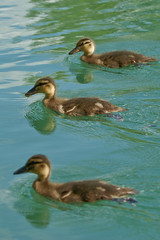 Swimming in formation (u_sperling) Tags: bird animal schweiz switzerland tiere duck formation bern mallard wohlensee