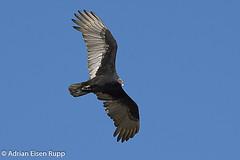 Turkey Vulture, urubu-de-cabeça-vermelha (eisenrupp) Tags: minas gerais birding aves da brazilian cerrado serra canastra merganser patomergulhão