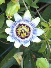 PASSIONE di CRISTO (aldofurlanetto) Tags: fiore passionedicristo