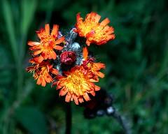 Hieracium aurantiacum (rexp2) Tags: flower greatlakes lakesuperior duluthsuperiorharbor sonyalpha7rilce7ra7r nikkorpcmicronikkor85mmf28dtiltshiftlens sony0mmf00 vacation2015spring