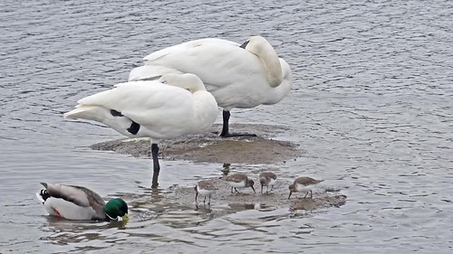 Swans and Dunlin