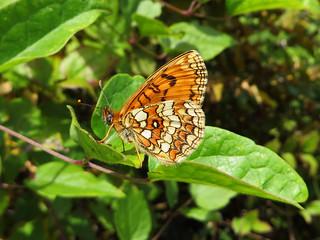 Mélitée du mélampyre (Melitaea athalia)