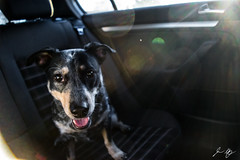 Blue Heeler (jasonheneghan) Tags: blueheeler happypuppy littledog cute