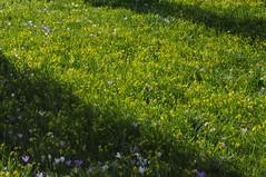 Blütenpracht an der Kirche - Millionen Gelbsterne (Gagea sp.) und Krokusse (Crocus sp.); Bergenhusen, Stapelholm (17) (Chironius) Tags: stapelholm bergenhusen schleswigholstein deutschland germany allemagne alemania germania германия szlezwigholsztyn niemcy blüte blossom flower fleur flor fiore blüten цветок цветен asparagales schwertliliengewächse iridaceae krokusse crocus liliales lilienartige liliengewächse liliaceae lilioideae
