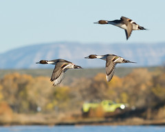 2016-11-18 P9200904 Northern Pintails (Tara Tanaka Digiscoped Photography) Tags: bird flight bif northernpintail prescribedfire bosquedelapachenwr newmexico gh4 nikon 300mm f28 manualfocus