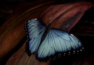 Morpho bleu/Morpho helenor