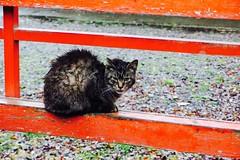 Today's Cat@2017-04-07 (masatsu) Tags: cat thebiggestgroupwithonlycats catspotting pentax mx1