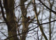 P52 Week 8   Fleeting Moments (Steph*Powell) Tags: robin singing woodland britishwildlife uk nikond5100