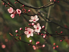 in bloom (Johnson Cameraface) Tags: 2017 february winter olympus omde1 em1 micro43 meyeroptikgorlitzoreston 50mm m42 f18 manualfocus johnsoncameraface blossom flower tree bloom signsofspring petals stamen