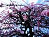 農業センター delaふぁーむ⑤ しだれ梅(5) (ebi-katsu) Tags: canon ixy 930is 農業センター delaふぁーむ flower plants tree weepingplum plum plumblossom しだれ梅 枝垂れ梅