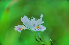 il risveglio (ironmember) Tags: bokeh fiore verde cespuglio aiuola allaperto incastello abrescia primavera macro sfondosfocato 3d altadefinizione petali colori pistilli dettaglio