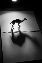 Story of a Camel (niam.) Tags: camel