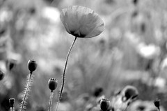 Monochrome poppy (John (thank you >1 million views)) Tags: poppy 7dwf flower flora horfield macrophotography streetphotography park monochrome bw bristol