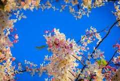 Pink cassia flowers (Wishing tree, pink shower, cassia bakeriana craib) on blue sky background in Thailand. Selective focus (Nuttawut Uttamaharad) Tags: pink cassia tree flower background blossom shower color natural beautiful nature beauty plant thailand sky light spring blue fresh season branch sakura green summer colorful garden park romantic wild sunny asia cherry thai bakeriana woman landscape wishing winter head freshness sunlight bokeh