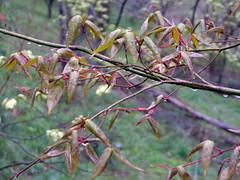 Acer cordatum Pax 1889 (SAPINDACEAE) (helicongus) Tags: acercordatum acer sapindaceae jardínbotánicodeiturraran spain