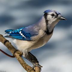 On alert (Explored) (Fred Roe) Tags: lca71d4064 nikond7100 nikkorafs80400mmf4556ged nikonafsteleconvertertc14eii nature wildlife birds birding birdwatching birdwatcher bluejay cyanocittacristata peacevalleypark
