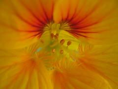 (venana) Tags: dragoljub proljeće spring nasturtium tropaeolum 20170325161837 macro closeup flower cvijet narančasto orange