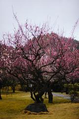 Sanrokugama : Plum Blossoms (Nazra Zahri) Tags: bizen okayama japan spring 2017 plumblossoms raw