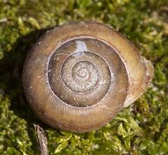 Webbhelix multilineata (Vicinum) Tags: gastropoda snails