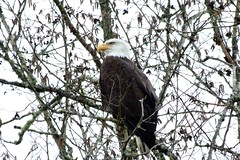 Bald Eagle (shutterbusterbob) Tags: baldeagle eagle birdofprey bird black washington washingtonstate wild white wildlife yellow nature northwestwashington westernwashington skagitcounty skagitvalley prairie canon canoneos canoneos70d canon70d eos eos70d eoscanon 70d haliaeetusleucocephalus