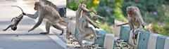 Mother with Infant - dead? (Smevin Paul) Tags: bangalore monkey with infant dead died baby nandi hills nandihills mother carry run