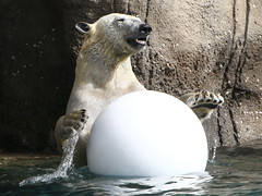 Having A Ball 1 (Ger Bosma) Tags: 2mg217172 ijsbeer ursusmaritimus polarbear eisbär polarbär oursblanc ourspolaire osopolar osoblanco orsopolare orsobianco белыймедведь animal playing ball water spray dunking slamdunk paws
