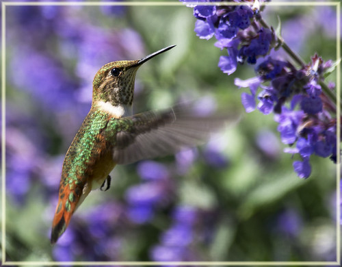 Hummingbird in the Cat Mint