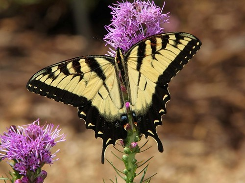 Tiger Swallowtail, male (Papilio glaucus)