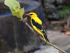Indian Golden Oriole (SivamDesign) Tags: male bird fauna canon eos rebel golden backyard kiss indian x4 oriole 550d oriolusorioluskundoo t2i orioluskundoo canonefs18135mmf3556is indiangoldenoriole