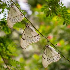 Three of a kind (FotoCorn) Tags: nature fauna butterfly switzerland nikon suisse butterflies natuur papillon fribourg dslr schmetterling vlinders vlinder d800 zwitserland kerzers papiliorama mygearandme mygearandmepremium mygearandmebronze mygearandmesilver mcr536420130629140055