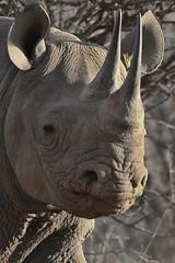 PICT8759 (Arno Meintjes Wildlife) Tags: nature wildlife safari rhinoceros blackrhino krugerpark kruger blackrhinoceros dicerosbicornis hooklippedrhinoceros arnomeintjes