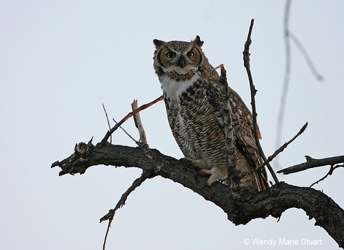 Photo - Out on a Limb - Adult Great Horned Owl sits alone on a dead branch at Sawhill Ponds.