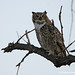 Out on a Limb - Adult Great Horned Owl sits alone on a dead branch at Sawhill Ponds.