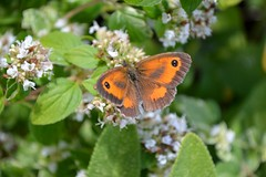 Gatekeeper Butterfly Pyronia Tithonus (Seventh Heaven Photography) Tags: flowers england white nature butterfly garden wings shropshire britain wildlife butterflies british pollen blooms oregano gatekeeper nikond3200 pyronia tithonus lopidoptera