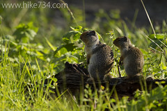 """Columbian Ground Squirrel • <a style=""""font-size:0.8em;"""" href=""""http://www.flickr.com/photos/63501323@N07/9459308694/"""" target=""""_blank"""">View on Flickr</a>"""